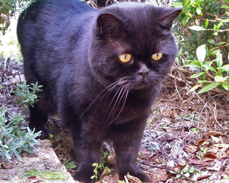 Black British Shorthair