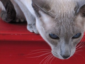 Blue Siamese on Red Furniture