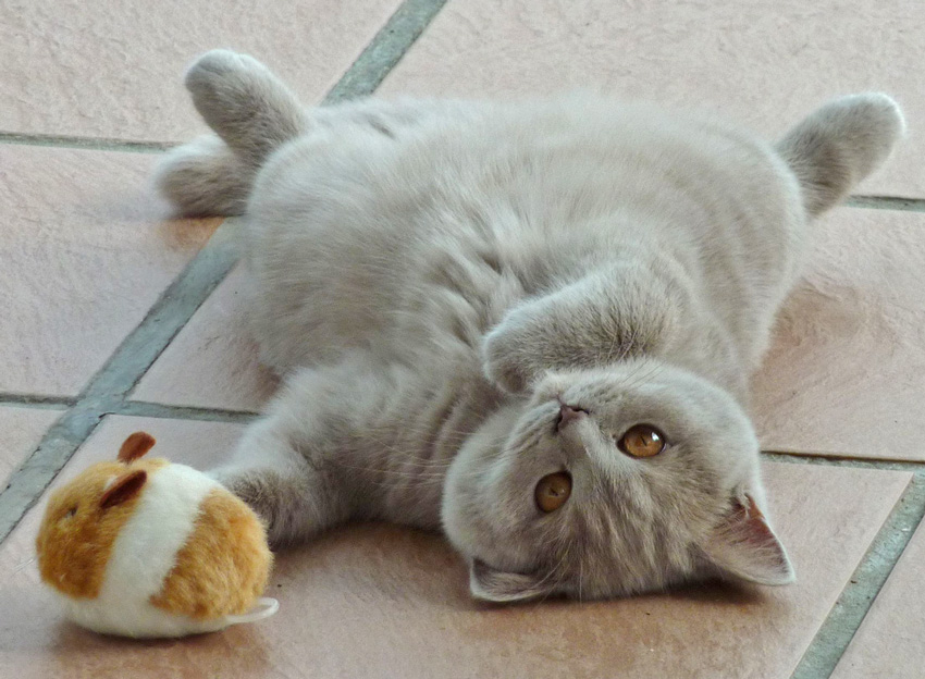 Elya British Shorthair