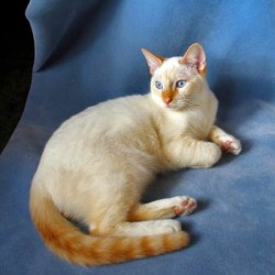 Well Known Flame Point Siamese Cat