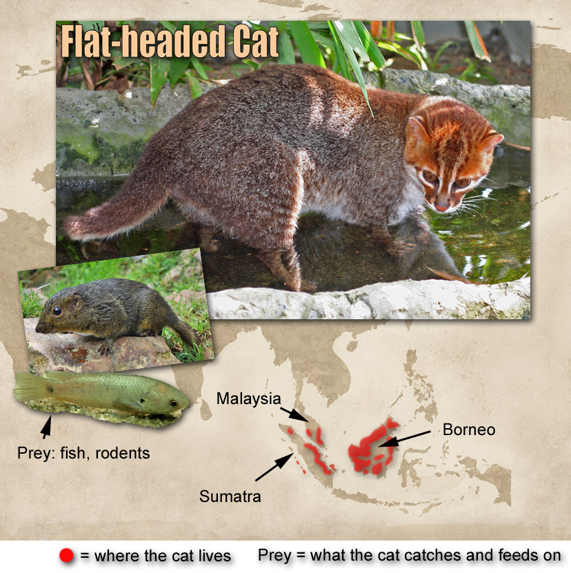 Flat-headed Cat Facts For Kids