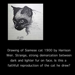 Harrison Weir Drawing of 1900s Siamese Cat