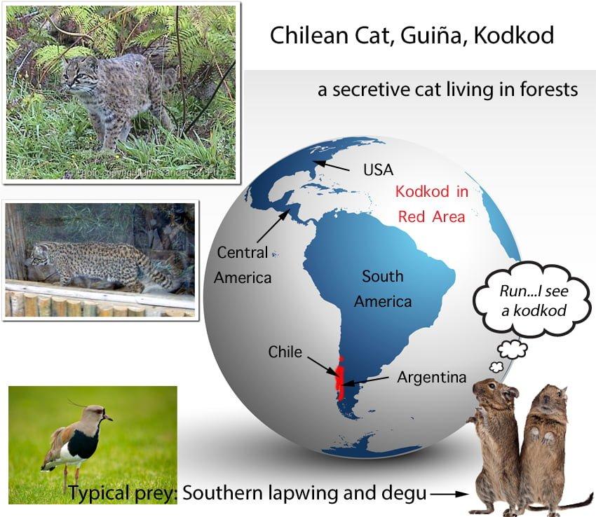 Kodkod Cat Facts For Kids