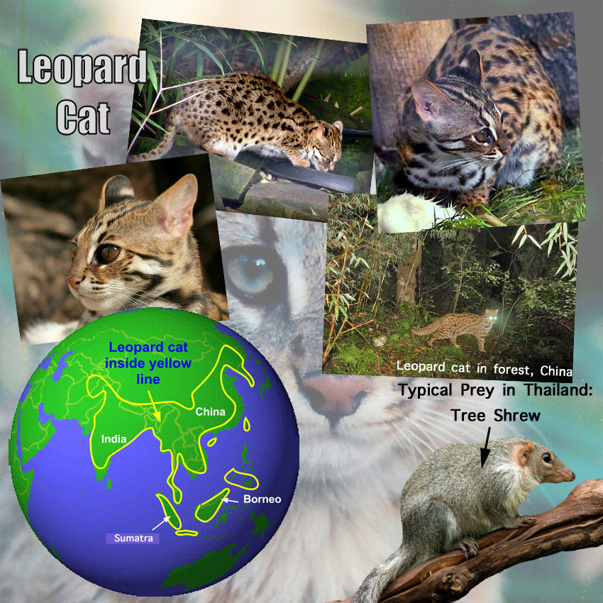 Leopard Cat Facts For Kids