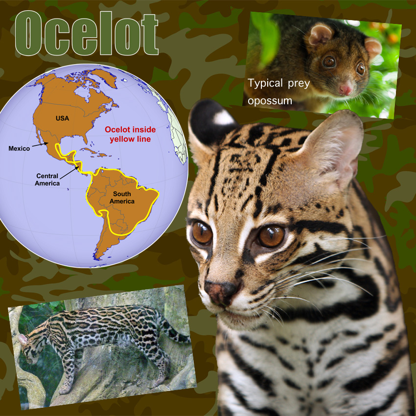 Ocelot Facts For Kids