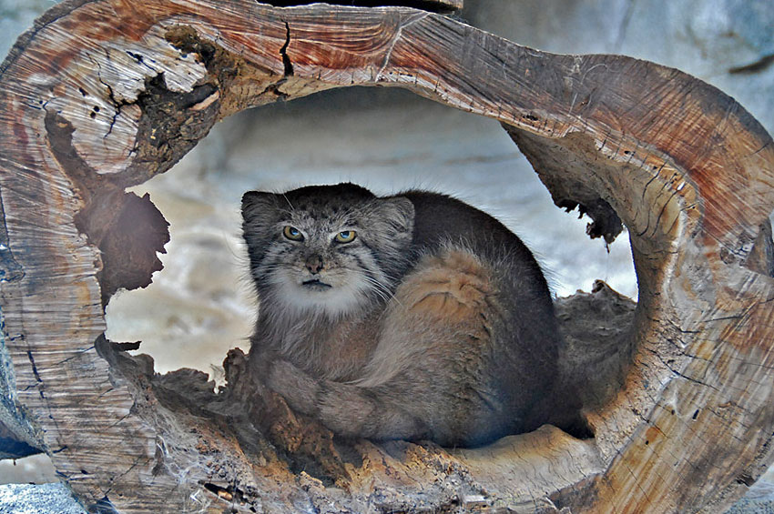 Pallas's Cat picture