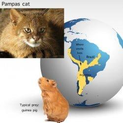 Pampas Cat