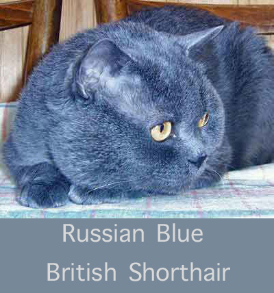 Russian Blue Brit SH