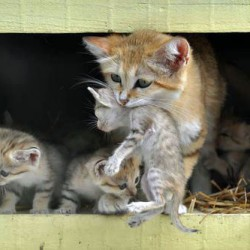 Sand cat and her kittens