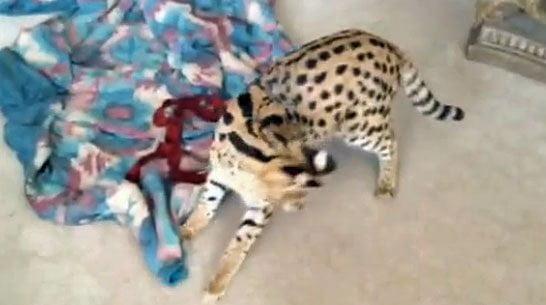 Pet Serval