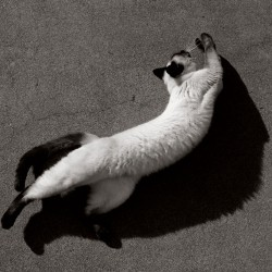 Stretching Siamese in Black and White