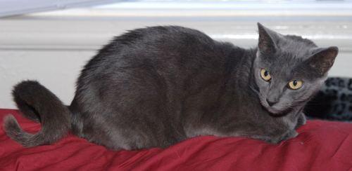 American Ringtail Cat