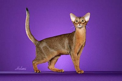 Abyssinian cat with standard tail