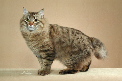 Cat With Kinked Tail