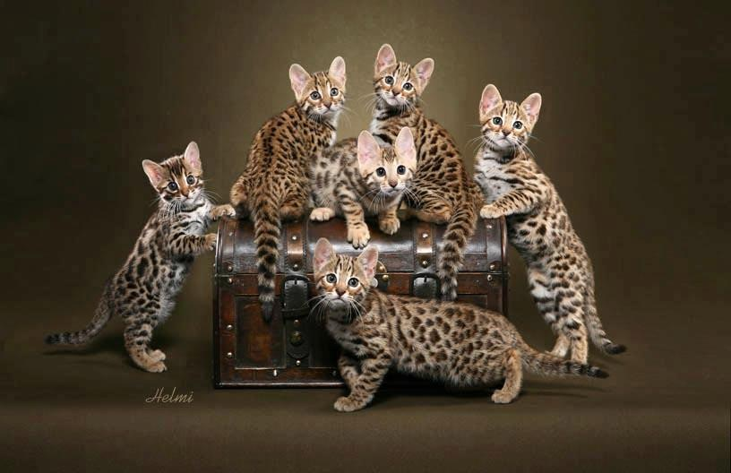 Bengal Kittens Group Picture