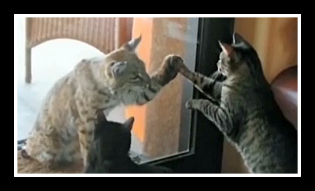 Bobcat High Fives with Domestic Cat
