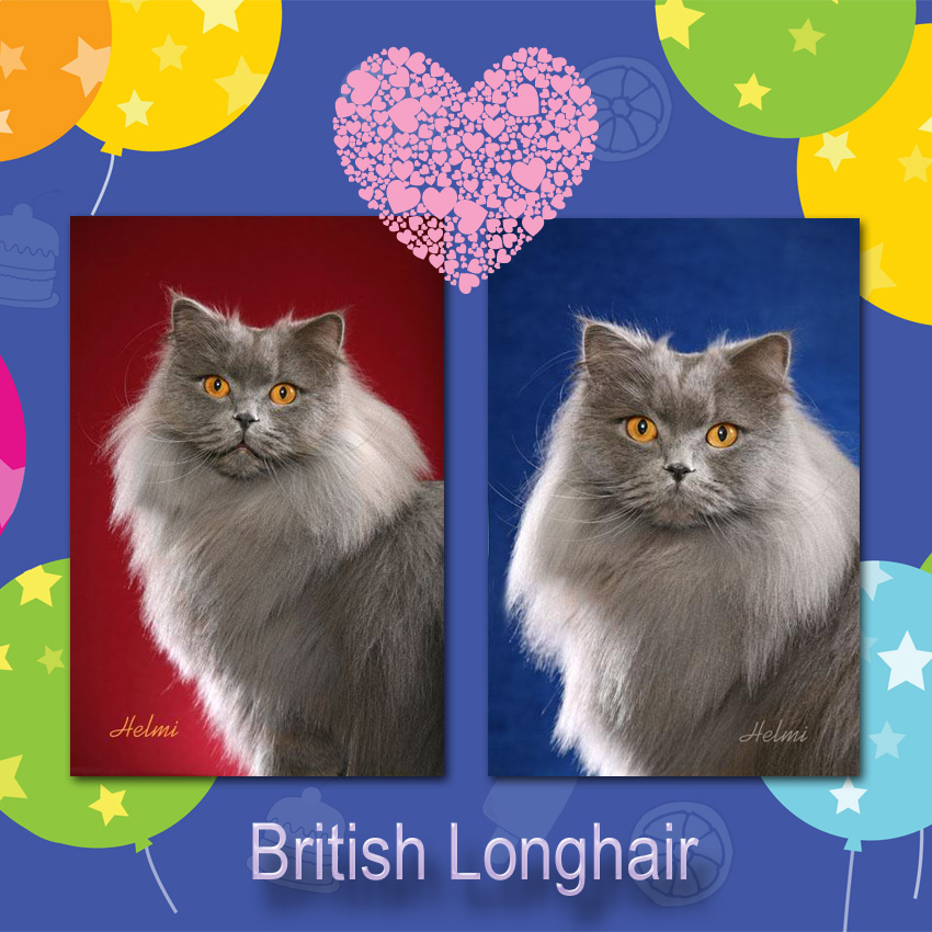 British Longhair Cat Facts For Kids.