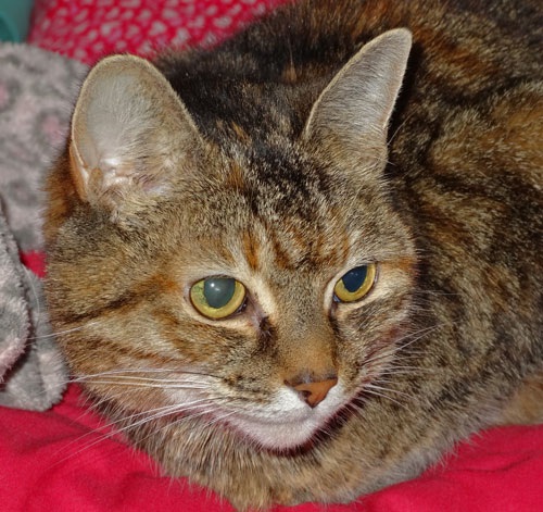 Cardie a tabby female cat