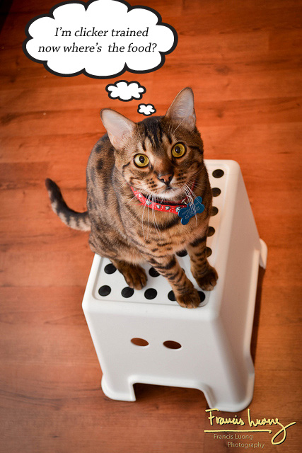 Clicker Training Your Cat – PoC
