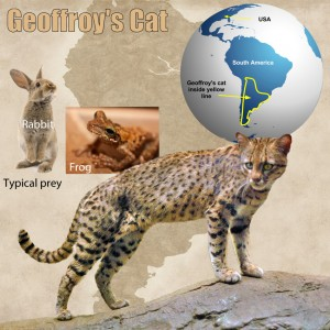 Geoffroy's Cat Facts For Kids