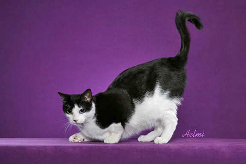 Olive Oyl moggie show cat with standard tail