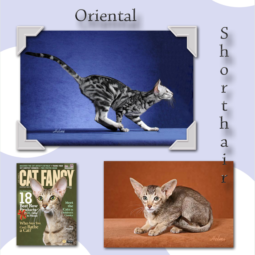 Oriental Shorthair Cat Facts For Kids
