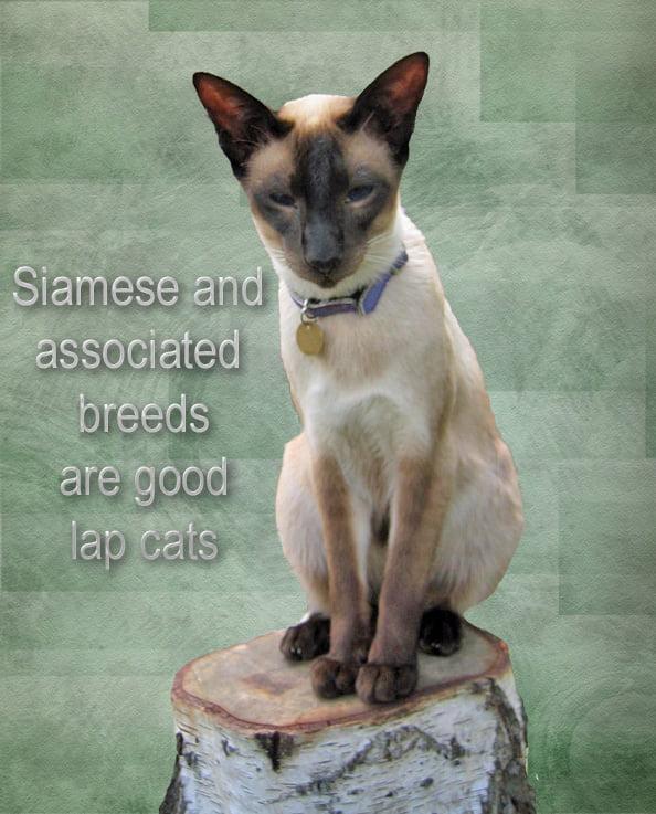 Siamese Lap Cat