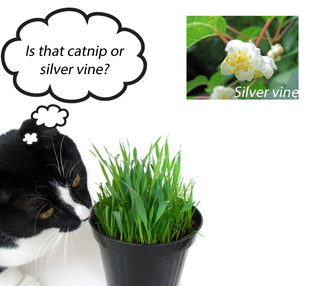 Silver Vine For Cats