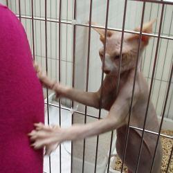 Sphynx cat Casper