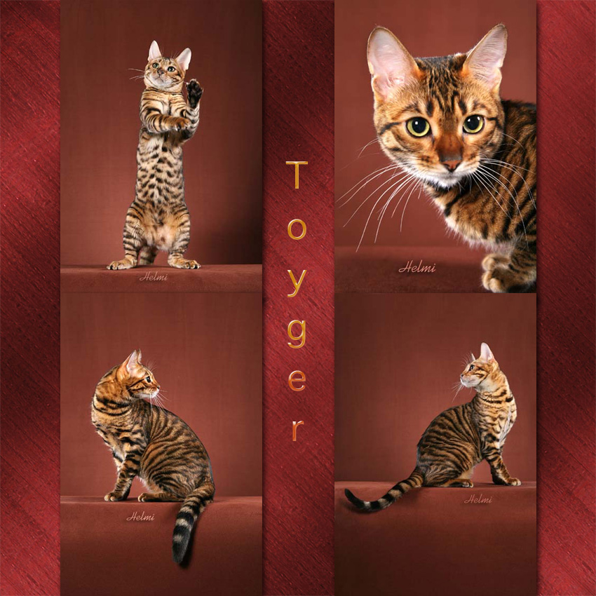Toyger Cat Facts For Kids
