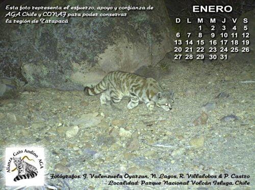Andean cat calender