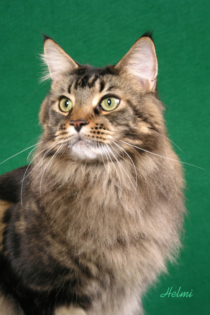 Maine Coon Ziggy Pictures | PoC