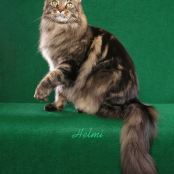 Maine Coon Ziggy