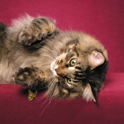 Maine Coon Ziggy. Photo copyright Helmi Flick