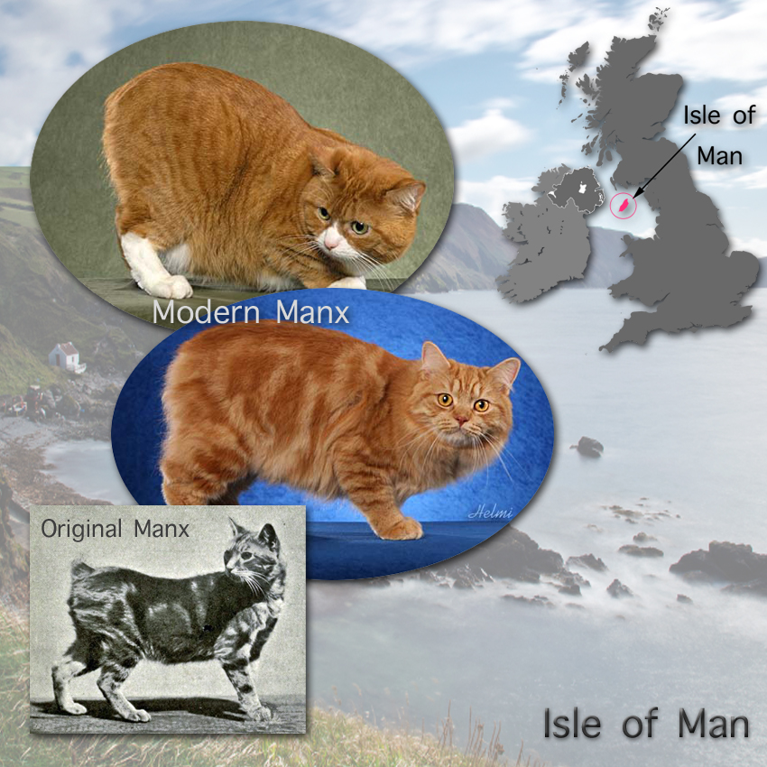 Manx Cat Facts In Plain Language