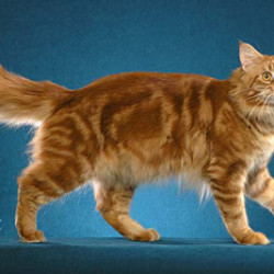 Ace a red tabby Maine Coon