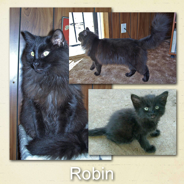 Rogin a longhaired purebred mix cat