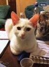 Stolen white kitten