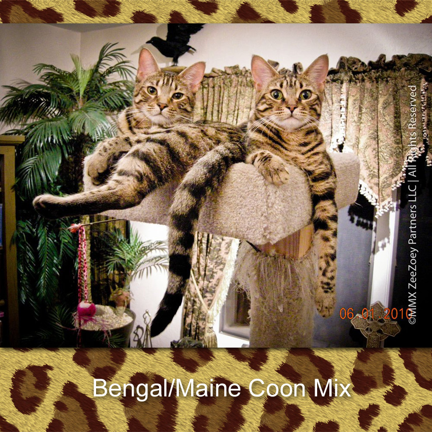 Bengal Cat Maine Coon hybrid cats