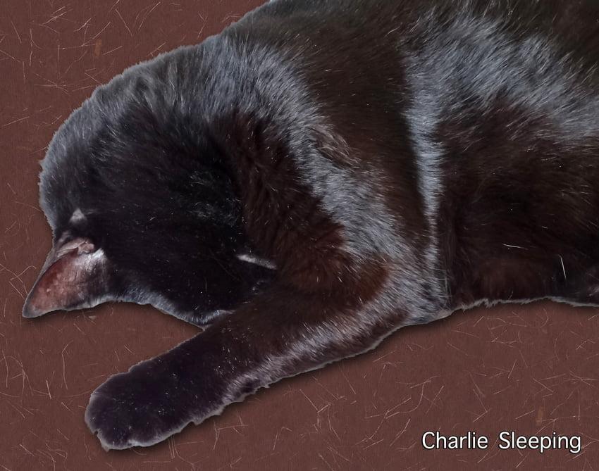 Cat Sleeping (Charlie)