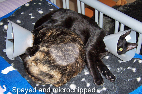 Spayed and microchipped cats