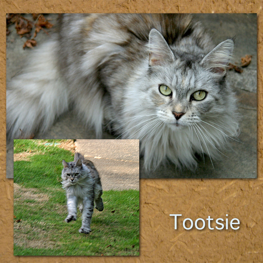 Tootsie a typey rescued Maine Coon photos by Valley Girl