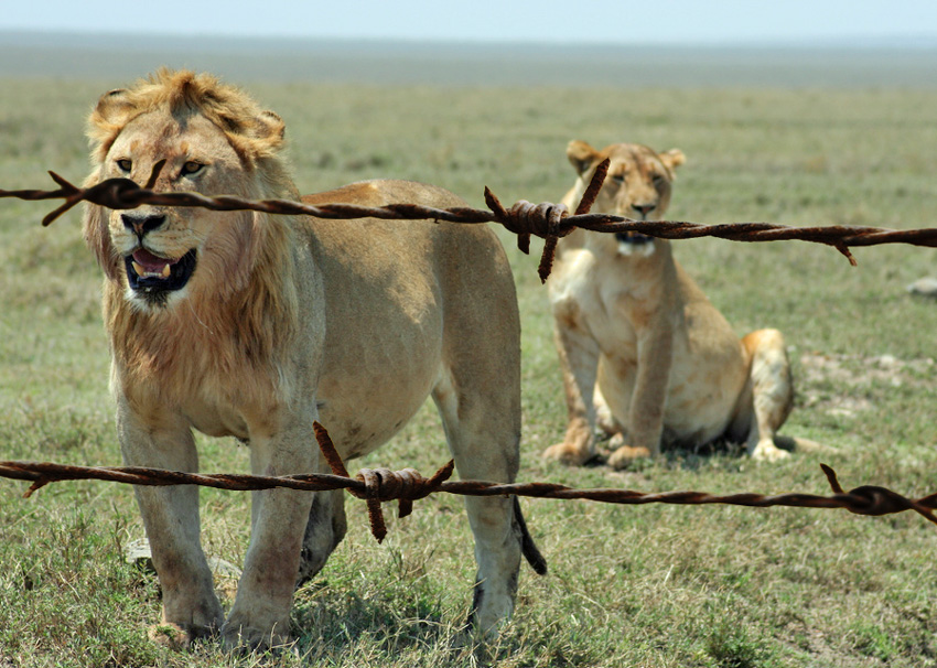 Fenced in lion in Africa