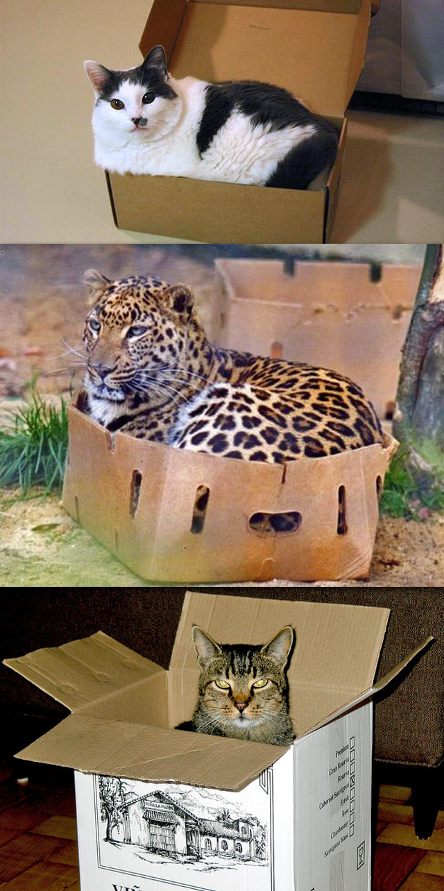 Wild Cat in a Box