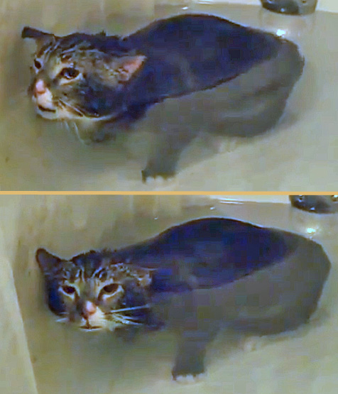 cat meowing under water