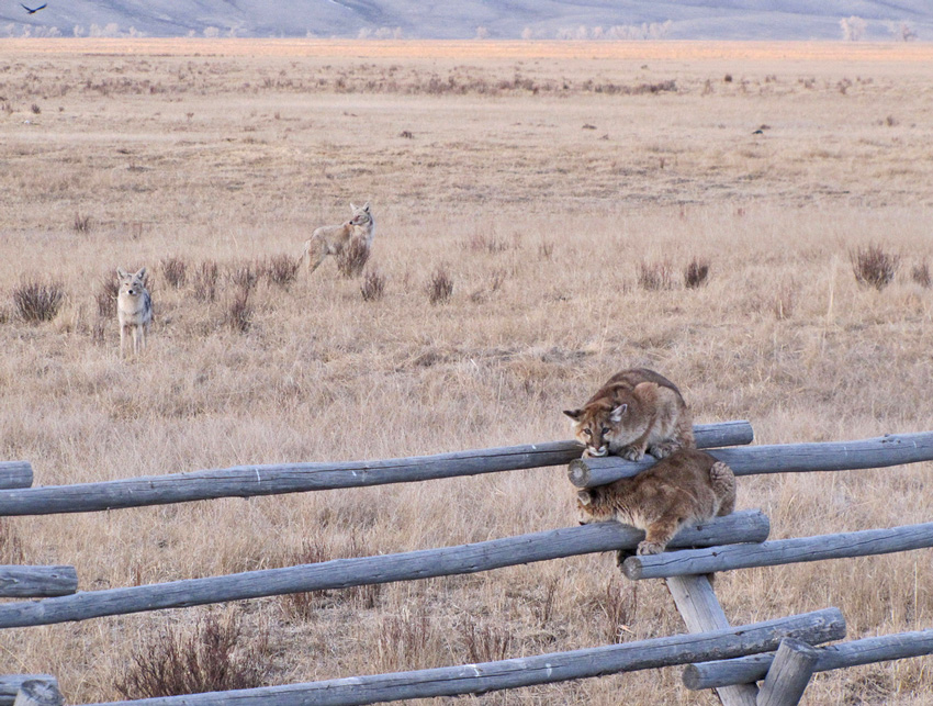 Coyotes chase two juvenile cougars