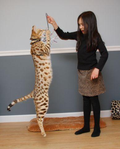 Savannah Cat Half Breed