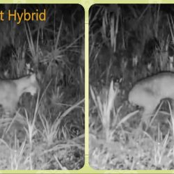 Puma bobcat Hybrid