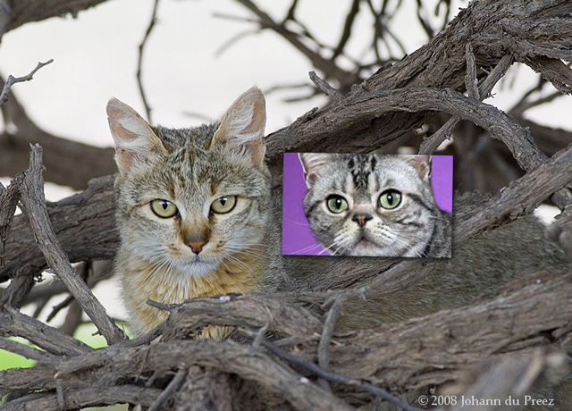 African wildcat eyes versus American shorthair eyes