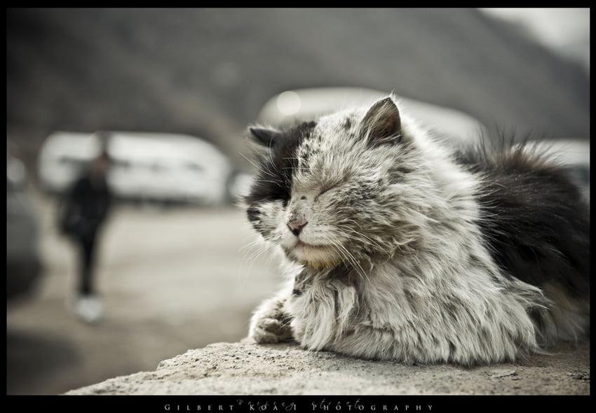 beijing-cat-5